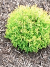 Riengold Arborvitae  3 gallon - Product Image